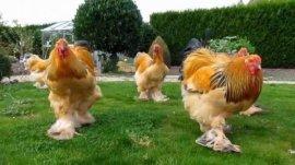 世界上最大的鸡,梵天鸡身高可达1.2米