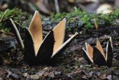 世界上最罕见的蘑菇,恶魔雪茄能发出啸叫声