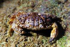 世界十大最毒的螃蟹,铜铸熟若蟹第一名
