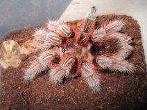 最受欢迎的宠物蜘蛛,智利火玫瑰蜘蛛
