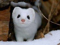 世界上最萌的动物,白鼬全身雪白最出萌