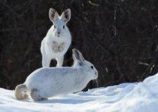 世界上最会变色的兔子,白靴兔自带雪地靴