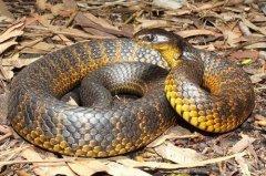 澳洲最致命的毒蛇,被东方虎蛇咬顷刻毙命