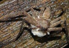 世界上室内最大的蜘蛛,白额高脚蛛可杀死蟑螂