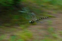 地球上视力最好的昆虫,鬼蜻蜓是捕猎高手