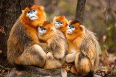 世界上最不怕冷的猴子,金丝猴在零下10度生存