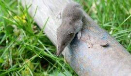 世界上最小的哺乳动物,小鼩鼱体重不超5克