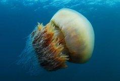 世界上最大的水母,越前水母直径达3米