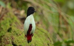 世界上色彩最鲜艳的鸟——白胸八色鸫