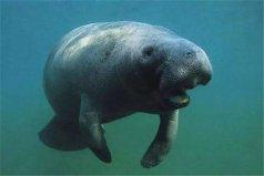 世界上寿命最长的海牛,年龄已经70多岁