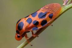 世界上跳得最高的动物 沫蝉可跳自身高度100倍