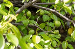 世界上毒性最剧烈的植物,比箭毒木还危险
