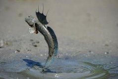 世界上最奇特的两栖鱼类,弹涂鱼能在陆地生存