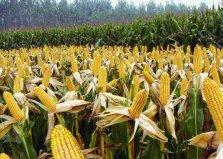 世界上生产玉米最多的国家,美国产量超10亿吨