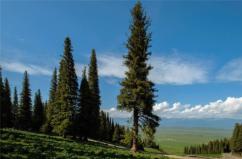 世界上寿命最长的树,挪威云杉活了9500年