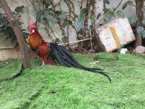 世界上尾羽最长的鸟,长12.5米有四层楼高