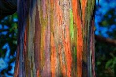 世界十大最美丽的树木,彩虹桉树颜色最丰富
