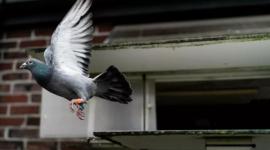 史上最贵鸽子,比利时赛鸽拍出160万欧元