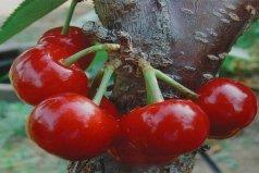 世界上最大的樱桃,波尔娜大樱桃果重可达20克