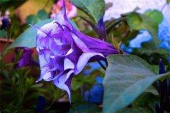 世界上最毒的花,曼陀罗含有剧毒