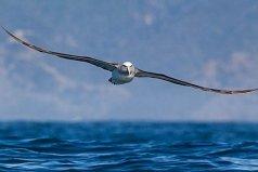 世界上最大的飞的最远的鸟,当属信天翁