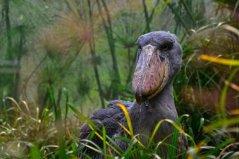 世界上现存头最大的鸟,鲸头鹳乃鳄鱼的天敌