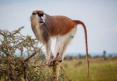 世界上跑的最快的猴子,非洲赤猴速度每时50km
