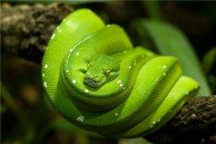 世界上漂亮又价值最高的蛇:蓝血绿树蟒