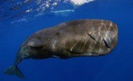 世界上潜水最深的动物,抹香鲸可下潜2200米