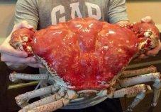 世界上最大的螃蟹可达40公斤够十几个人吃了