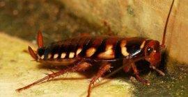 世界上最大的蟑螂,东方蜚蠊身长达10厘米