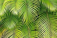 世界上最大的树叶,亚马逊棕榈叶高达24.7米