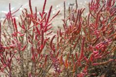 世界上最著名的耐盐植物,盐角草保水能力强