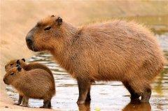世界上最大的啮齿动物,水豚很具有亲和力