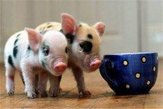 世界上最贵的宠物猪,茶杯猪身价达7000元