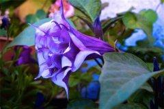 世界上最毒最妩媚的花,曼陀罗全株都有毒