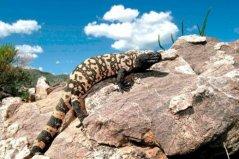 世界上最毒的蜥蜴,毒蜥体长不超1米