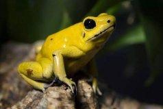 世界上最毒的青蛙,黄金箭毒蛙体长不超5厘米