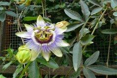 世界上最阴险的吃人植物——日轮花