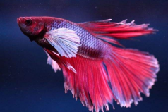 世界上最美丽的三种鱼,五彩博鱼荣获冠军