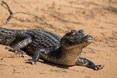 世界上最弱最小的鳄鱼,凯门鳄体长最多1.8米