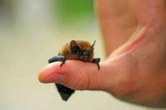 世界上最小的蝙蝠,体长2.5厘米体重仅2克