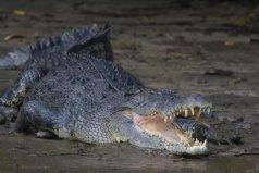 鳄鱼中体型最大的物种,咸水鳄体长可达7米