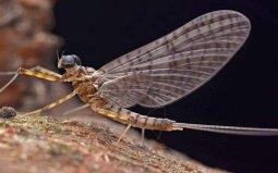 世界上寿命最短的昆虫,蜉蝣生命仅有几小时