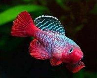 世界上生命最短暂的鱼,寿命仅有6星期