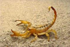 世界上毒性最强的蝎子,非巴勒斯坦毒蝎莫属