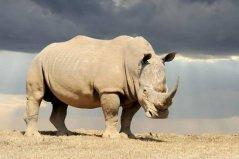 世界上最强壮的动物,犀牛为濒危物种