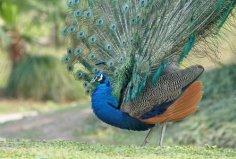 孔雀的品种有哪些?世界上最美丽的6种孔雀