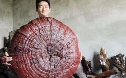 世界上最大的灵芝,长170厘米重量达220公斤