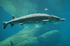 长江中体型最大的鱼,中华鲟最长达5米